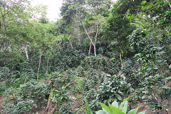 shade grown organic coffee