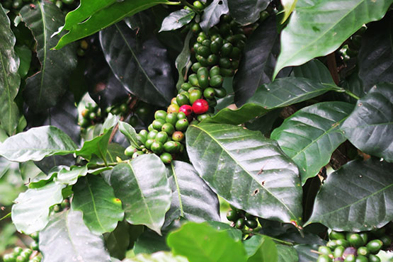 Organic coffee: Why it is better for the planet